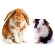 rabbit_guinea-15618_185x185